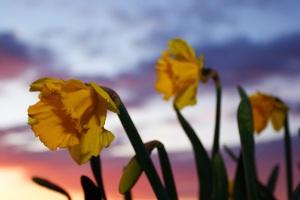 Flowers-Daffodils